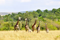 Giraffa (Kenia) immagini stock