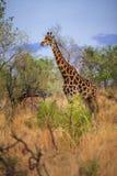 Giraffa macchiata buio Fotografie Stock Libere da Diritti