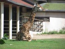Giraffa macchiata terreno comunale Immagini Stock Libere da Diritti