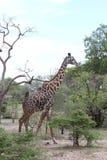Giraffa masai Immagini Stock