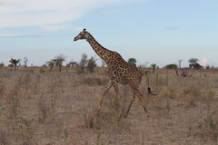 Giraffa masai Fotografia Stock Libera da Diritti