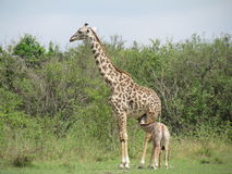 Giraffa masai Immagini Stock Libere da Diritti