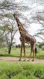 Giraffa masai Immagine Stock Libera da Diritti