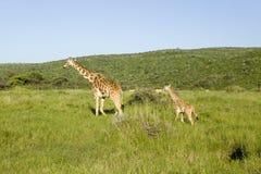 Giraffa masai del bambino e della madre in erba verde di tutela della fauna selvatica di Lewa, Kenya del nord, Africa Fotografie Stock