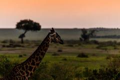 Giraffa in Masai Mara Fotografie Stock