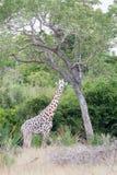 Giraffa masai nelle cime d'albero nel parco nazionale Tanzania di saadani fotografia stock