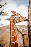 Giraffa maschio fra le alte rocce Immagine Stock Libera da Diritti