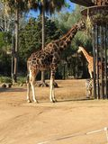 Giraffa a Melbourne Fotografie Stock Libere da Diritti