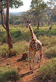 Giraffa a Nairobi Fotografia Stock Libera da Diritti
