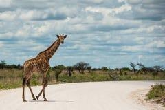 Giraffa, Namibië, Afrika Royalty-vrije Stock Foto