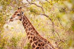 Giraffa negli alberi immagini stock libere da diritti