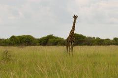 Giraffa nel cespuglio al tramonto contro il cielo nel PA di Etosha Immagini Stock Libere da Diritti