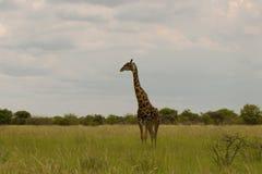 Giraffa nel cespuglio al tramonto contro il cielo nel PA di Etosha Fotografia Stock