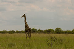 Giraffa nel cespuglio al tramonto contro il cielo nel PA di Etosha Fotografia Stock Libera da Diritti