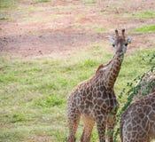 Giraffa nel giardino zoologico Fotografie Stock Libere da Diritti