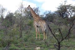 Giraffa nel paesaggio africano Immagine Stock
