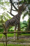 Giraffa nel parco Fotografia Stock Libera da Diritti
