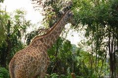 Giraffa nel parco Immagini Stock Libere da Diritti