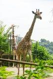 Giraffa nel parco Immagini Stock