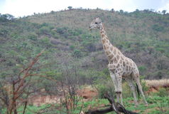 Giraffa nel parco di Kruger Immagini Stock Libere da Diritti
