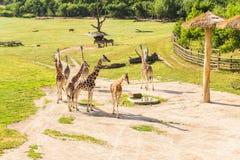 Giraffa nel parco di safari dello zoo Fotografie Stock Libere da Diritti