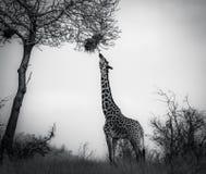 Giraffa nel parco nazionale ad ovest Kenya Africa orientale di Tsavo consumo Rebecca 36 immagine stock libera da diritti