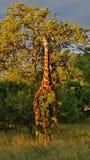Giraffa di Kruger Fotografie Stock Libere da Diritti