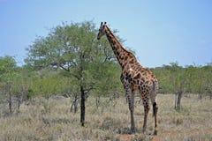 Giraffa nel selvaggio Fotografia Stock