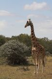Giraffa nel selvaggio Fotografie Stock Libere da Diritti