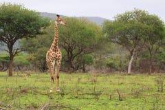 Giraffa nel selvaggio Fotografia Stock Libera da Diritti