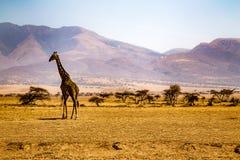 Giraffa nel Serengeti Fotografia Stock