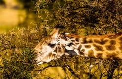 Giraffa nel Serengeti Fotografia Stock Libera da Diritti