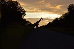 Giraffa nell'alba Immagini Stock