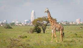 Giraffa nella città di Nairobi la capitale del Kenya fotografia stock libera da diritti