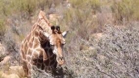 Giraffa nella Kalahari stock footage