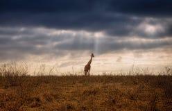 Giraffa nella savanna fotografia stock libera da diritti