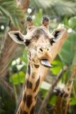 Giraffa parlante fotografie stock