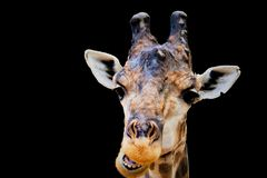 Giraffa principal aislado imagen de archivo