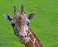 Giraffa reticolare Immagini Stock