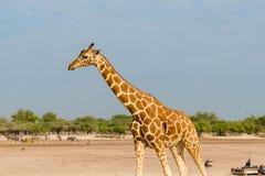 Giraffa reticolare Fotografia Stock