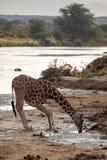 Giraffa reticolare pericolosa al fiume nel Kenya, Africa fotografia stock