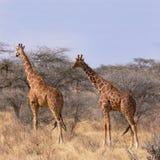 Giraffa reticolare selvaggia due in savana fra il cespuglio e gli alberi Immagine Stock Libera da Diritti