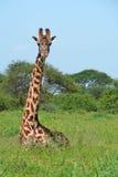 Giraffa in savanna Fotografie Stock Libere da Diritti