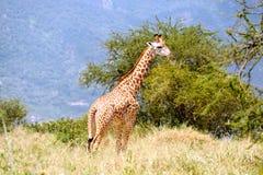 Giraffa in savanna africana Fotografie Stock Libere da Diritti
