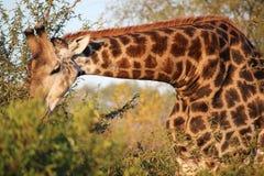 Giraffa selvaggia africana Immagine Stock