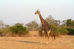 Giraffa selvaggia africana Fotografia Stock