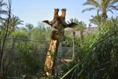 Giraffa sorridente Fotografia Stock Libera da Diritti