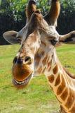 Giraffa sorridente Fotografia Stock