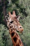 Giraffa sorridente fotografie stock libere da diritti