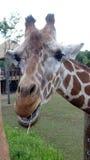 Giraffa sorridente con il fondo del cielo blu immagine stock libera da diritti